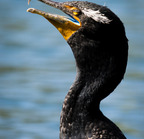 [518]_dsc0032 (double-crested cormorant)